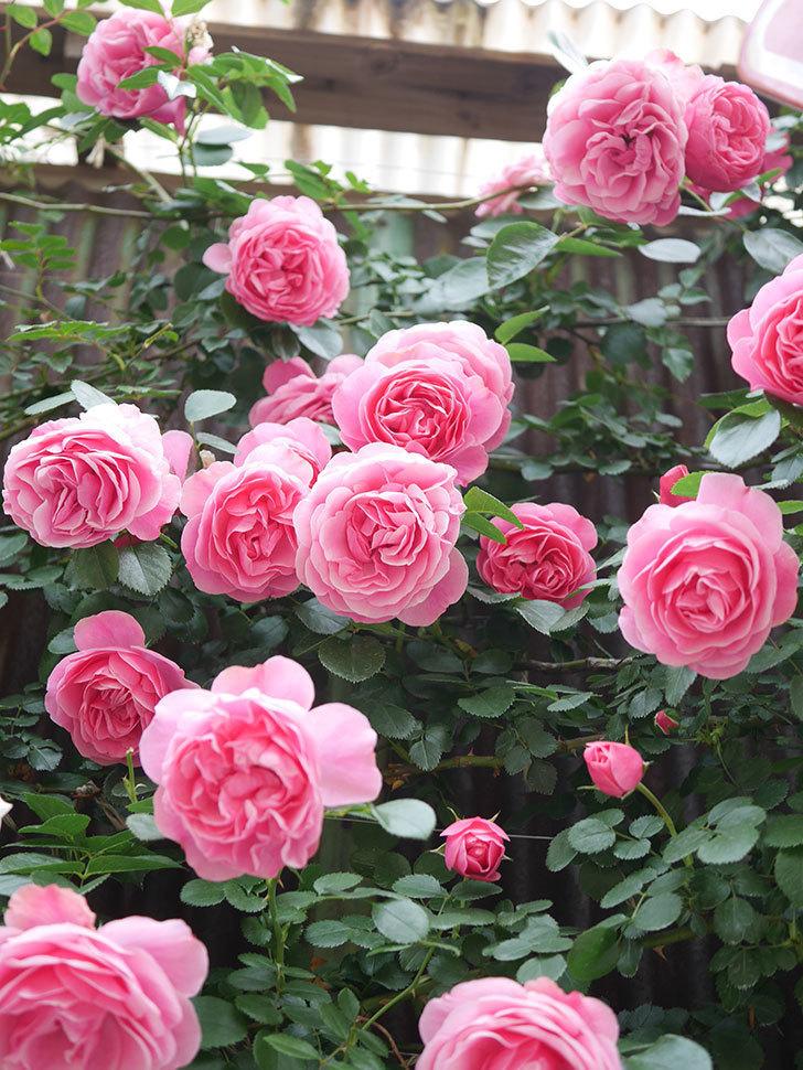 レオナルド・ダ・ヴィンチ(Leonard da Vinci)の花がたくさん咲いた。半ツルバラ。2021年-130.jpg