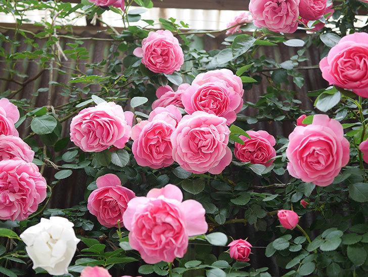 レオナルド・ダ・ヴィンチ(Leonard da Vinci)の花がたくさん咲いた。半ツルバラ。2021年-131.jpg