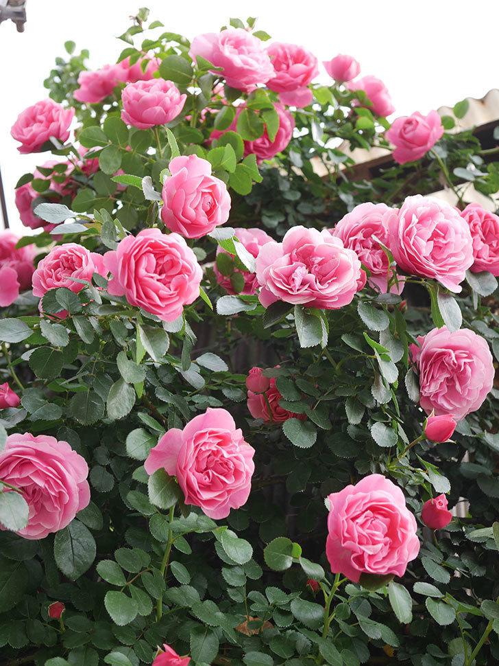 レオナルド・ダ・ヴィンチ(Leonard da Vinci)の花がたくさん咲いた。半ツルバラ。2021年-132.jpg