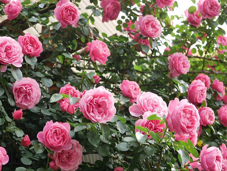レオナルド・ダ・ヴィンチ(Leonard da Vinci)の花がたくさん咲いた。半ツルバラ。2021年-133.jpg