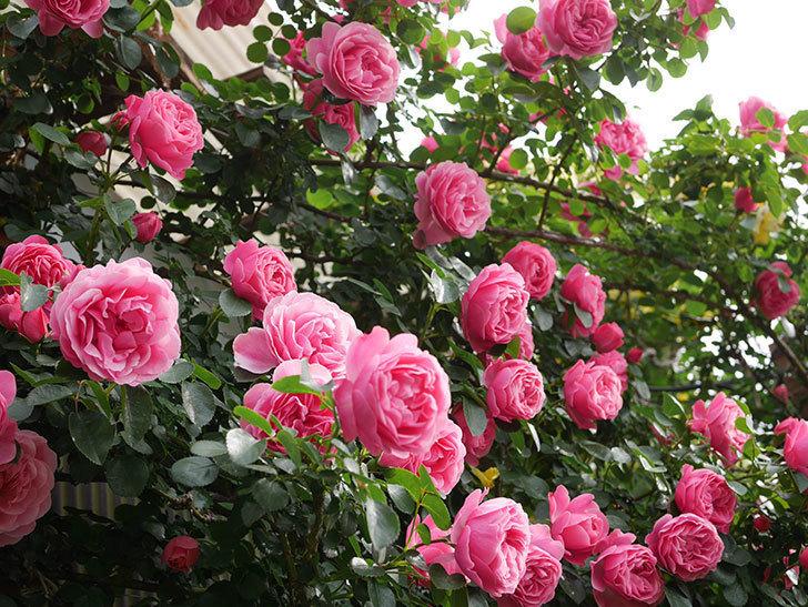 レオナルド・ダ・ヴィンチ(Leonard da Vinci)の花がたくさん咲いた。半ツルバラ。2021年-134.jpg