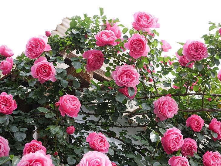 レオナルド・ダ・ヴィンチ(Leonard da Vinci)の花がたくさん咲いた。半ツルバラ。2021年-136.jpg