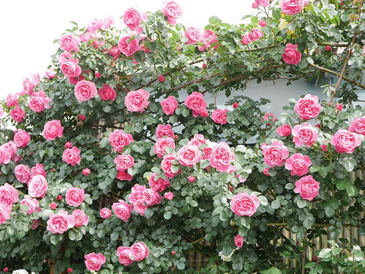 レオナルド・ダ・ヴィンチ(Leonard da Vinci)の花がたくさん咲いた。半ツルバラ。2021年-137.jpg