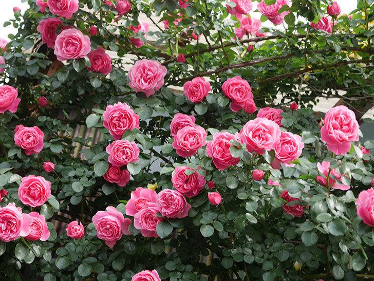 レオナルド・ダ・ヴィンチ(Leonard da Vinci)の花がたくさん咲いた。半ツルバラ。2021年-138.jpg