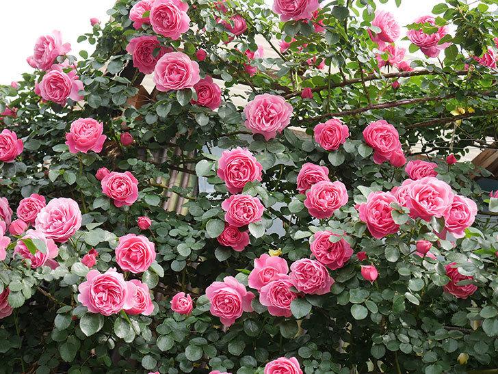 レオナルド・ダ・ヴィンチ(Leonard da Vinci)の花がたくさん咲いた。半ツルバラ。2021年-139.jpg