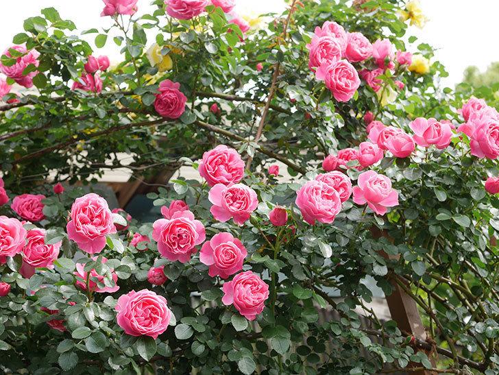 レオナルド・ダ・ヴィンチ(Leonard da Vinci)の花がたくさん咲いた。半ツルバラ。2021年-140.jpg