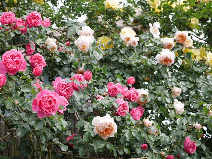 レオナルド・ダ・ヴィンチ(Leonard da Vinci)の花がたくさん咲いた。半ツルバラ。2021年-141.jpg
