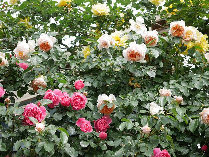 レオナルド・ダ・ヴィンチ(Leonard da Vinci)の花がたくさん咲いた。半ツルバラ。2021年-142.jpg