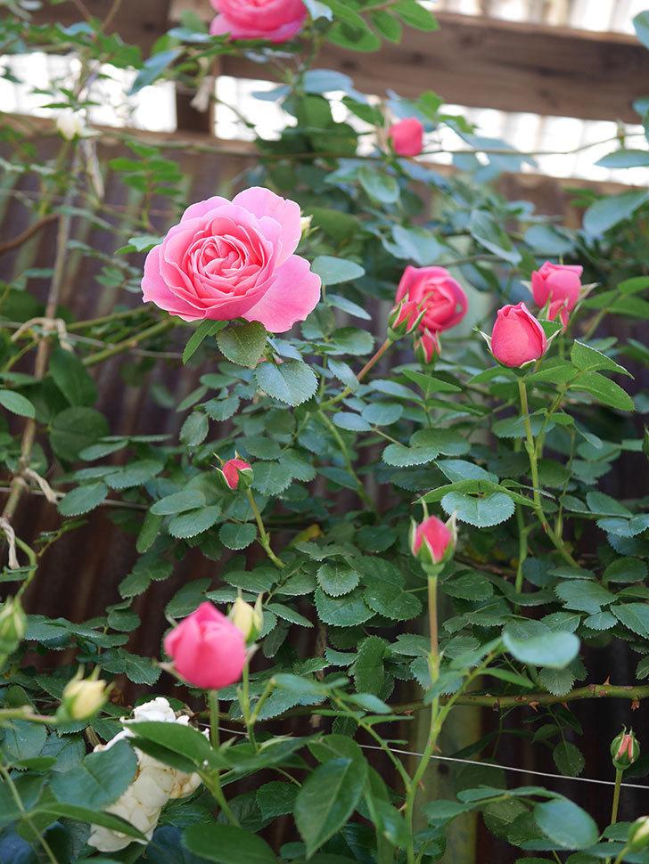 レオナルド・ダ・ヴィンチ(Leonard da Vinci)の花が少しずつ増えてきた。半ツルバラ。2021年-012.jpg