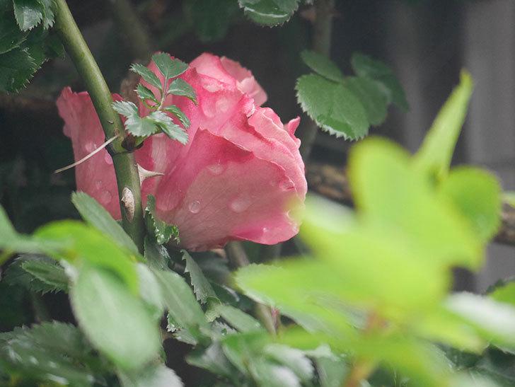 レオナルド・ダ・ヴィンチ(Leonard da Vinci)の花が少し咲いた。半ツルバラ。2021年-009.jpg