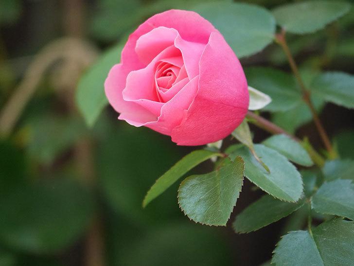 レオナルド・ダ・ヴィンチ(Leonard da Vinci)の花が本格的に咲きだした。半ツルバラ。2021年-008.jpg
