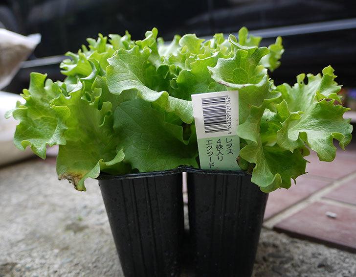 レタスとサニーレタスの苗を買って来た。2017年-3.jpg