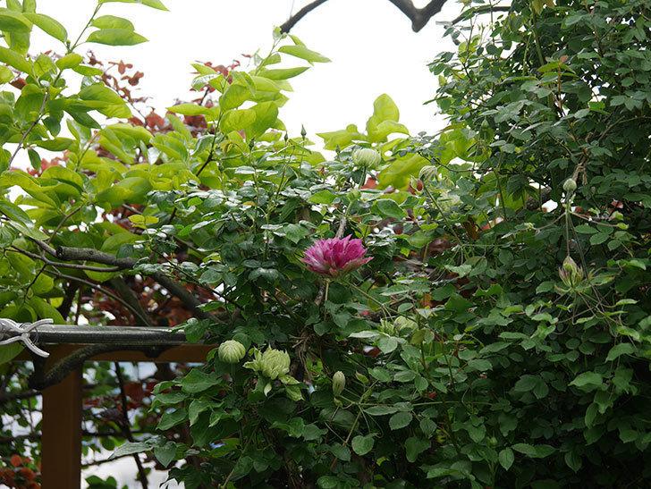レッドスター(早咲き大輪系-パテンス系 新・旧両枝咲き)の2個目の花が咲いた。2020年-10.jpg