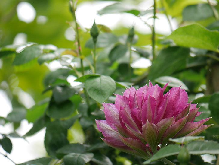 レッドスター(早咲き大輪系-パテンス系 新・旧両枝咲き)の2個目の花が咲いた。2020年-14.jpg