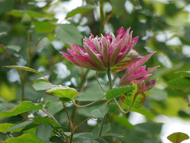 レッドスター(早咲き大輪系-パテンス系 新・旧両枝咲き)の2個目の花が咲いた。2020年-15.jpg