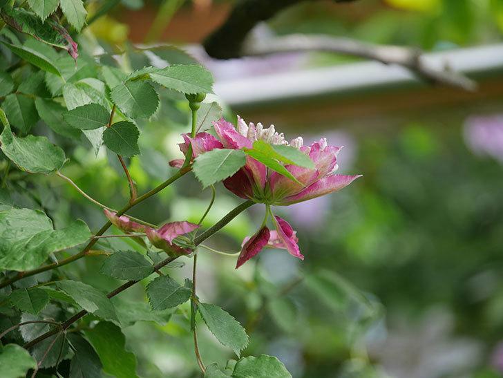 レッドスター(早咲き大輪系-パテンス系 新・旧両枝咲き)の2個目の花が咲いた。2020年-16.jpg