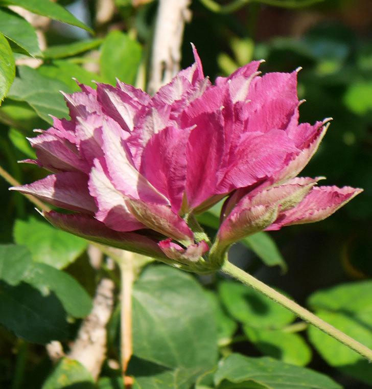レッドスター(早咲き大輪系-パテンス系 新・旧両枝咲き)の2個目の花が咲いた。2020年-19.jpg