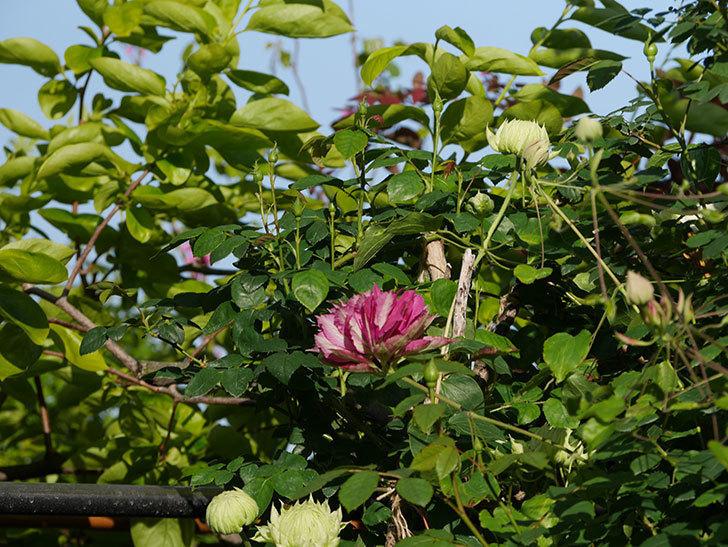 レッドスター(早咲き大輪系-パテンス系 新・旧両枝咲き)の2個目の花が咲いた。2020年-20.jpg