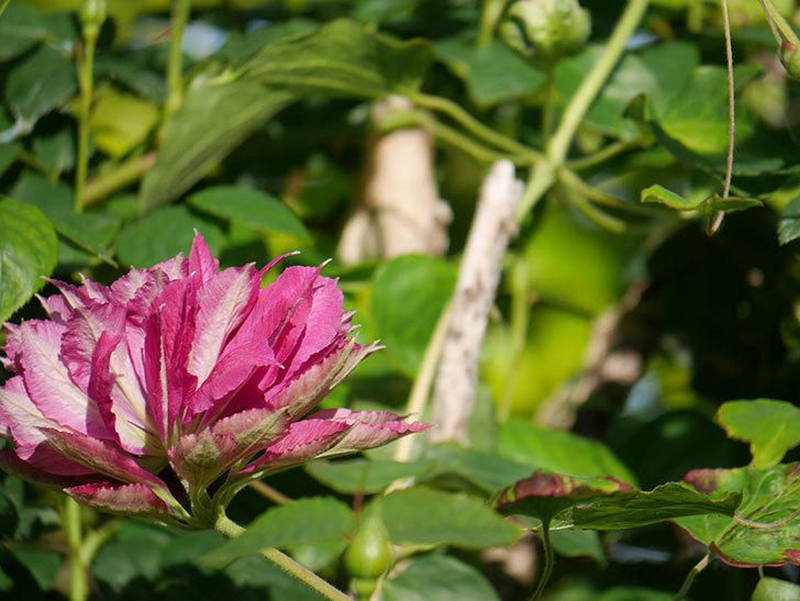 レッドスター(早咲き大輪系-パテンス系 新・旧両枝咲き)の2個目の花が咲いた。2020年-21.jpg