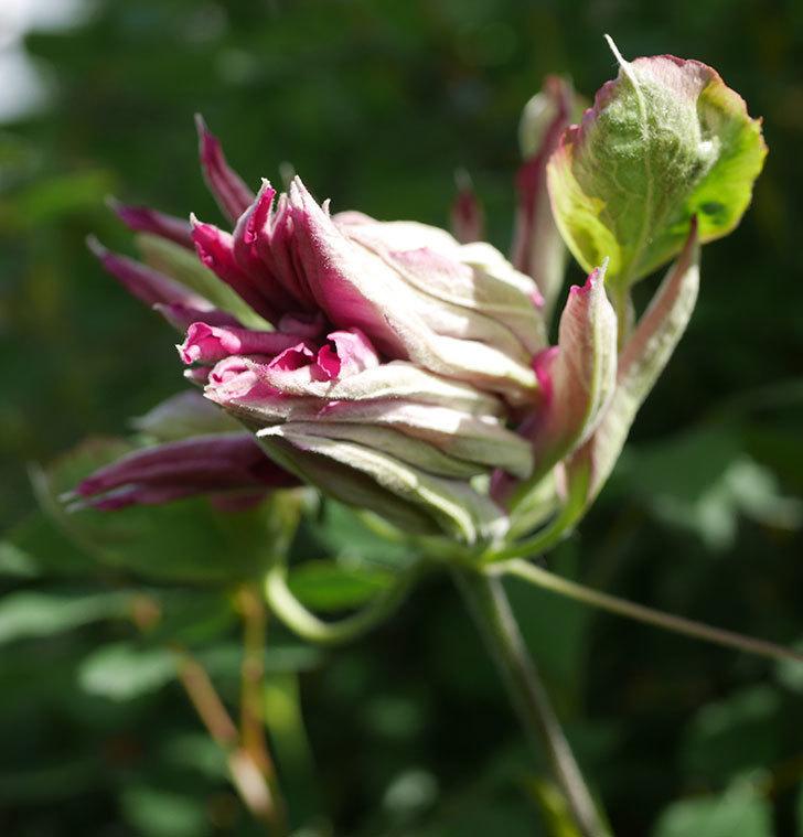 レッドスター(早咲き大輪系-パテンス系 新・旧両枝咲き)の2個目の花が咲いた。2020年-4.jpg