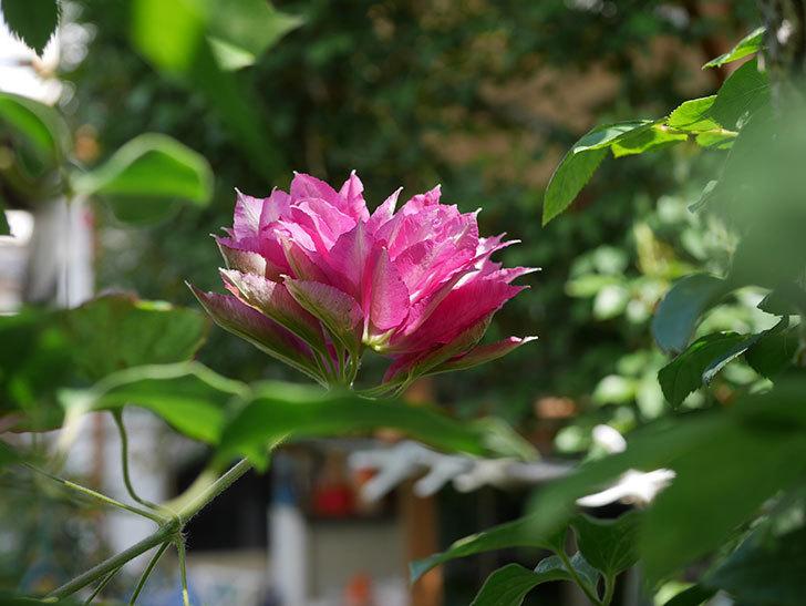 レッドスター(早咲き大輪系-パテンス系 新・旧両枝咲き)の2個目の花が咲いた。2020年-6.jpg
