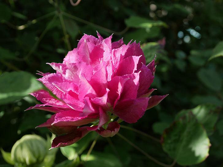 レッドスター(早咲き大輪系-パテンス系 新・旧両枝咲き)の2個目の花が咲いた。2020年-8.jpg