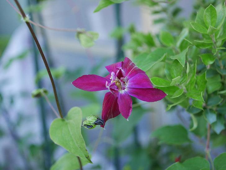 レッドスター(早咲き大輪系-パテンス系 新・旧両枝咲き)の花が咲いた。2019年-2.jpg