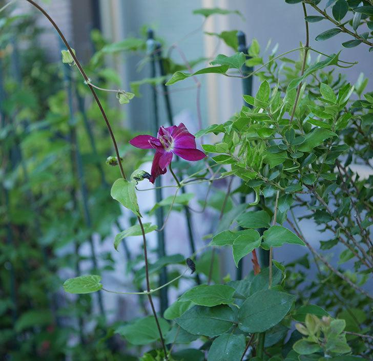 レッドスター(早咲き大輪系-パテンス系 新・旧両枝咲き)の花が咲いた。2019年-3.jpg