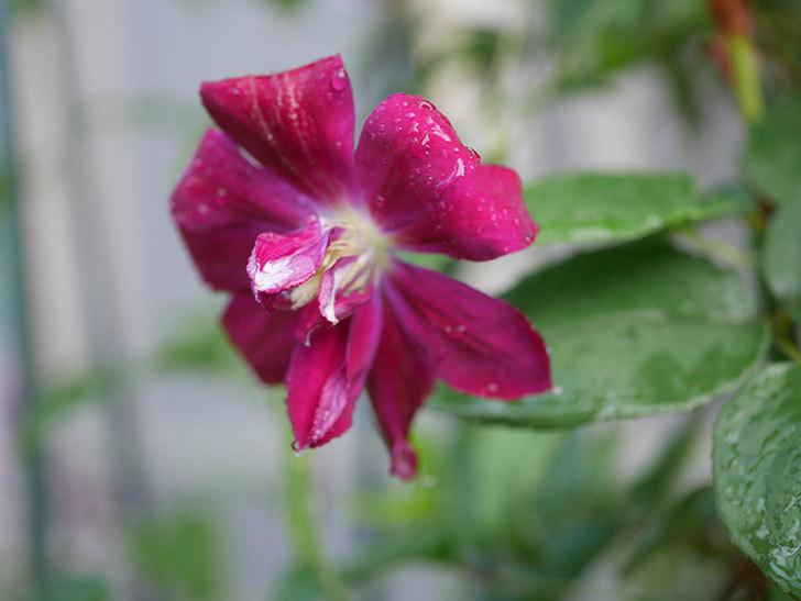 レッドスター(早咲き大輪系-パテンス系 新・旧両枝咲き)の花が咲いた。2019年-4.jpg