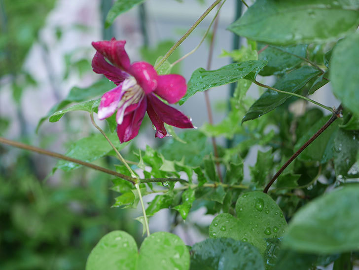 レッドスター(早咲き大輪系-パテンス系 新・旧両枝咲き)の花が咲いた。2019年-5.jpg