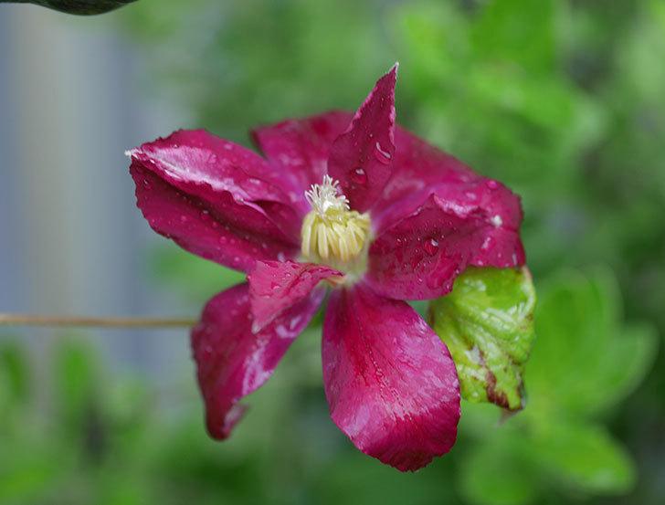 レッドスター(早咲き大輪系-パテンス系 新・旧両枝咲き)の花が咲いた。2019年-6.jpg