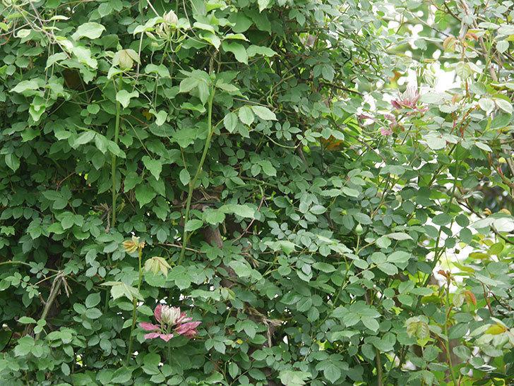 レッドスター(早咲き大輪系-パテンス系 新・旧両枝咲き)の花が咲いた。2020年-13.jpg