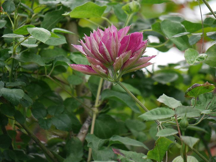 レッドスター(早咲き大輪系-パテンス系 新・旧両枝咲き)の花が咲いた。2020年-14.jpg