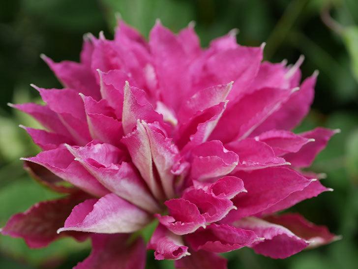 レッドスター(早咲き大輪系-パテンス系 新・旧両枝咲き)の花が咲いた。2020年-2.jpg