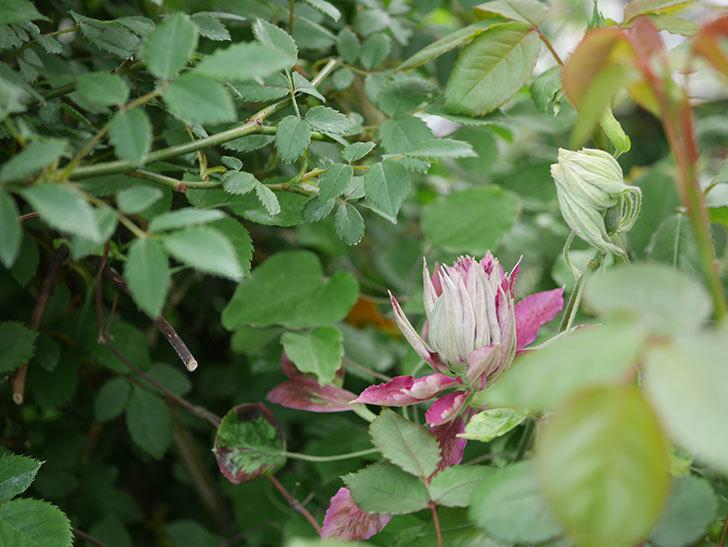 レッドスター(早咲き大輪系-パテンス系 新・旧両枝咲き)の花が咲いた。2020年-6.jpg