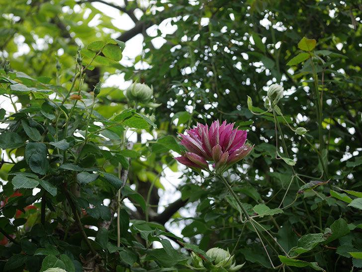 レッドスター(早咲き大輪系-パテンス系 新・旧両枝咲き)の花が咲いた。2020年-8.jpg