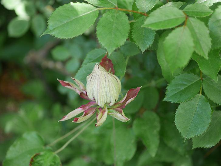 レッドスター(早咲き大輪系-パテンス系 新・旧両枝咲き)の花が増えて来た。2020年-11.jpg