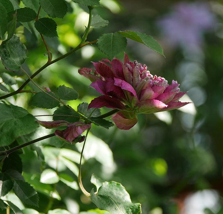 レッドスター(早咲き大輪系-パテンス系 新・旧両枝咲き)の花が増えて来た。2020年-13.jpg