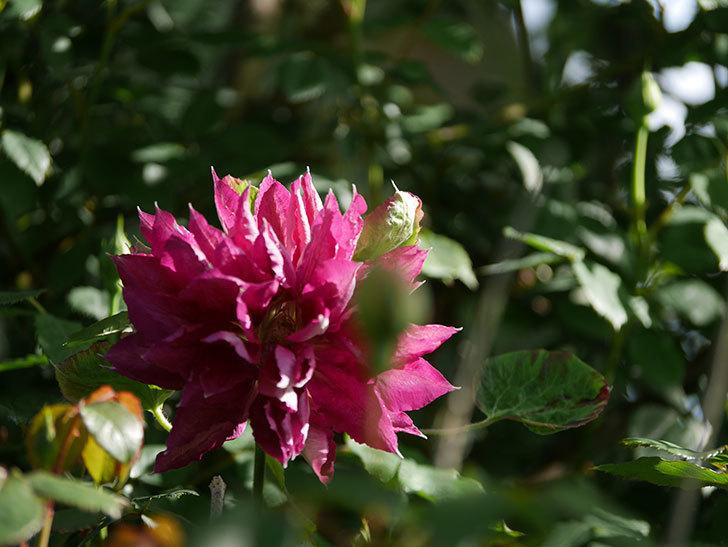 レッドスター(早咲き大輪系-パテンス系 新・旧両枝咲き)の花が増えて来た。2020年-14.jpg