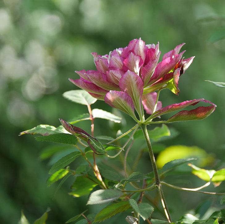 レッドスター(早咲き大輪系-パテンス系 新・旧両枝咲き)の花が増えて来た。2020年-17.jpg