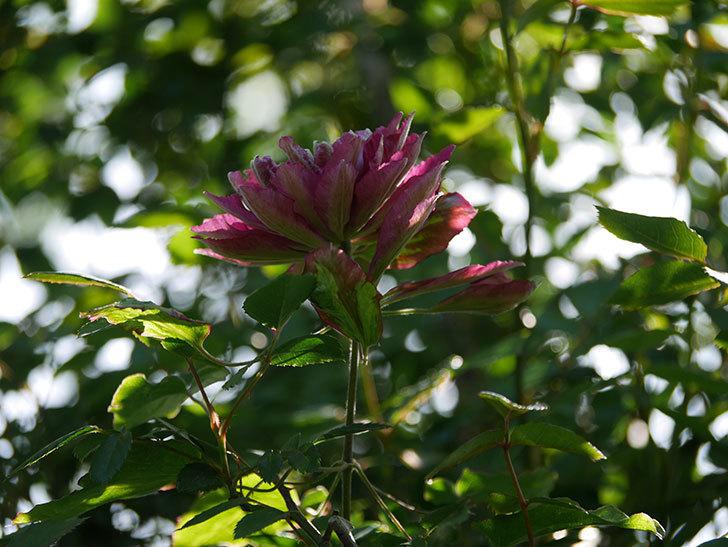 レッドスター(早咲き大輪系-パテンス系 新・旧両枝咲き)の花が増えて来た。2020年-18.jpg