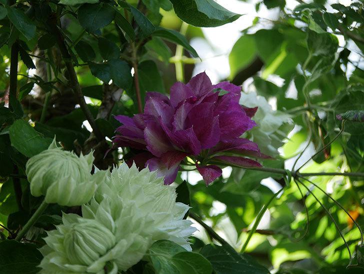 レッドスター(早咲き大輪系-パテンス系 新・旧両枝咲き)の花が増えて来た。2020年-19.jpg