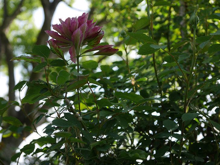レッドスター(早咲き大輪系-パテンス系 新・旧両枝咲き)の花が増えて来た。2020年-6.jpg