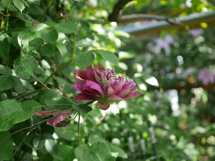 レッドスター(早咲き大輪系-パテンス系 新・旧両枝咲き)の花が増えて来た。2020年-8.jpg