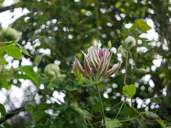 レッドスター(早咲き大輪系-パテンス系 新・旧両枝咲き)の花が少し咲いた。2020年-6.jpg
