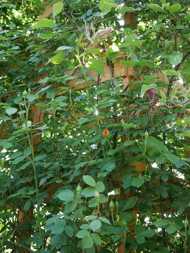 レッドスター(早咲き大輪系 パテンス系 新・旧両枝咲き)の花が増えてきた。2021年-002.jpg