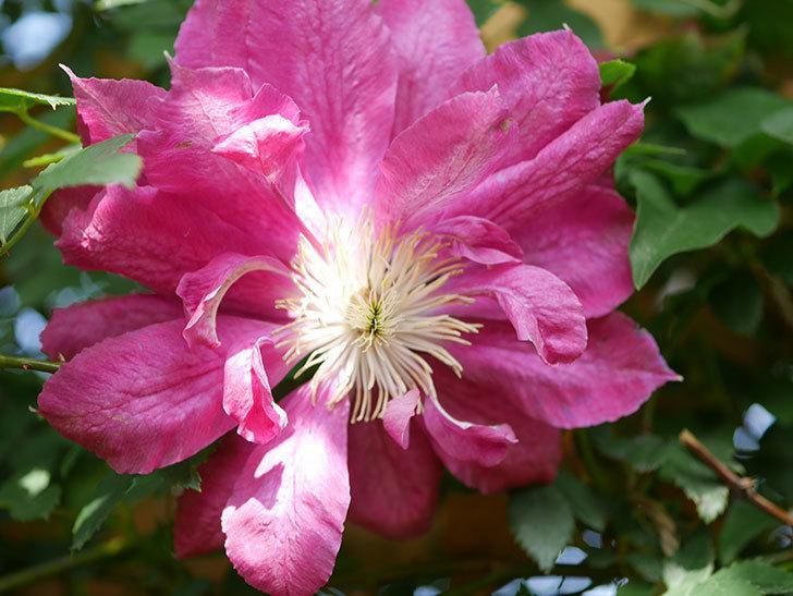 レッドスター(早咲き大輪系 パテンス系 新・旧両枝咲き)の花が増えてきた。2021年-004.jpg