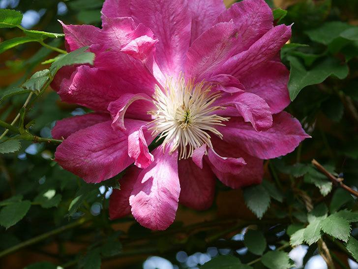 レッドスター(早咲き大輪系 パテンス系 新・旧両枝咲き)の花が増えてきた。2021年-005.jpg