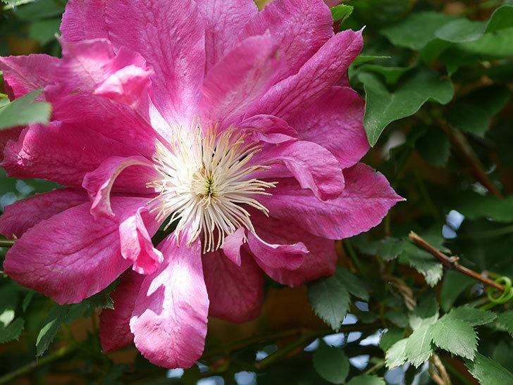 レッドスター(早咲き大輪系 パテンス系 新・旧両枝咲き)の花が増えてきた。2021年-006.jpg