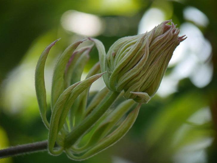 レッドスター(早咲き大輪系 パテンス系 新・旧両枝咲き)の花が増えてきた。2021年-014.jpg